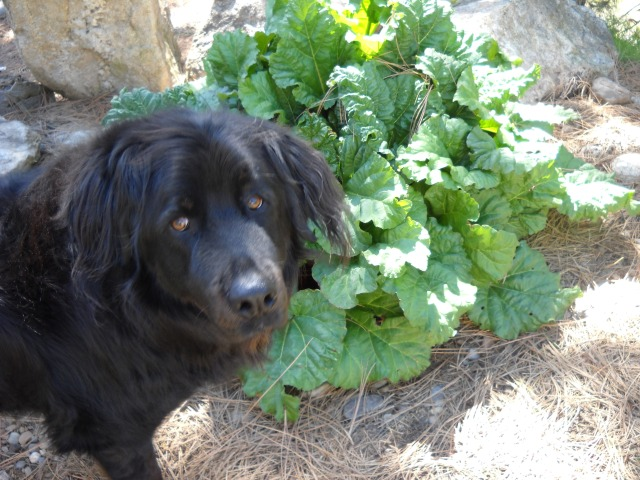 I had some help harvesting the rhubarb.